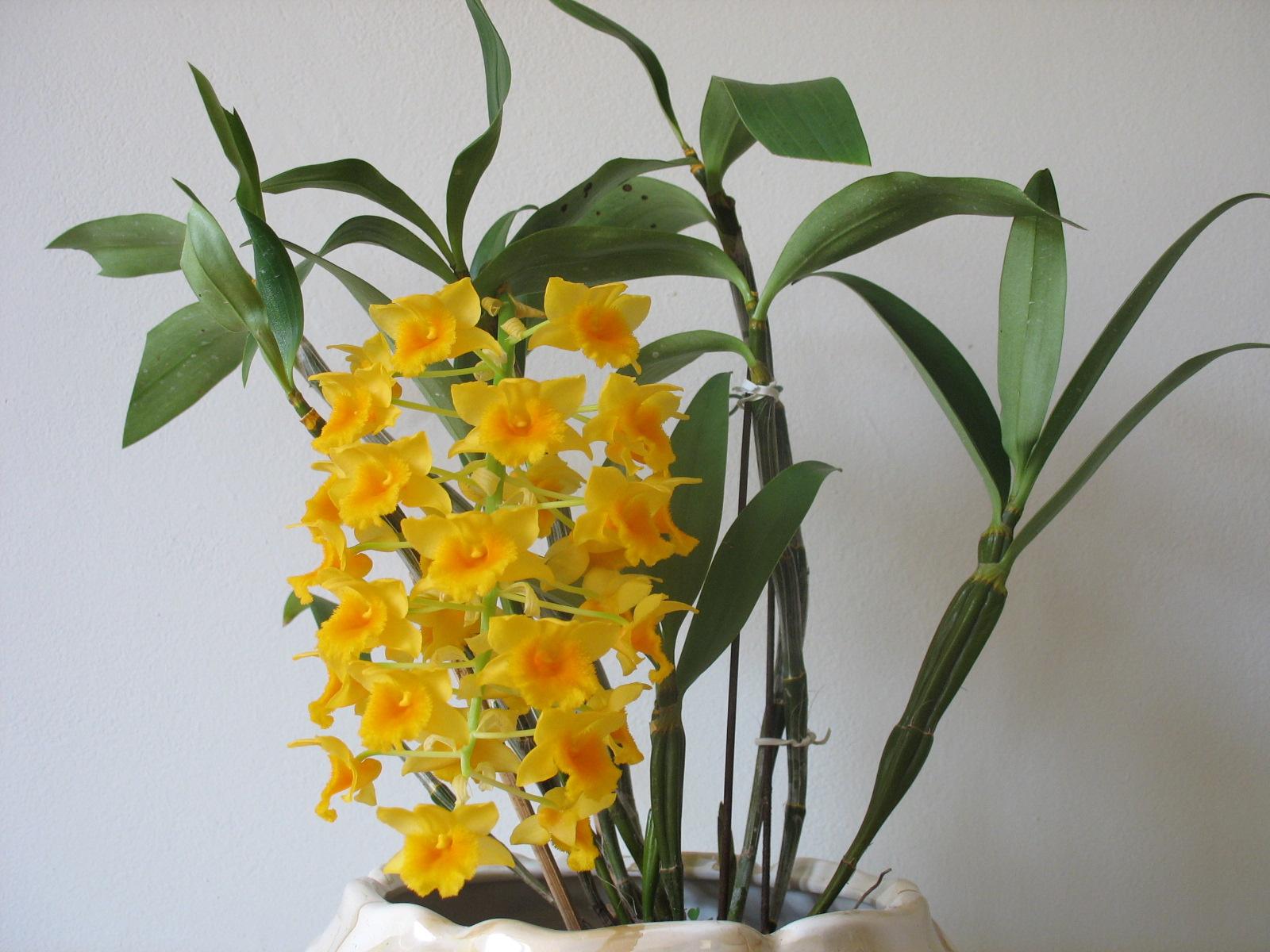 Ванильная орхидея в домашних условиях уход 596
